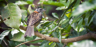 Rufous-collared sparrow on the tree branch of forest Royalty Free Stock Photography