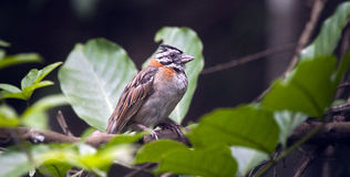 Rufous-collared sparrow on the tree branch of forest Stock Photography