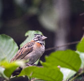 Rufous-collared sparrow on the tree branch of forest Stock Images