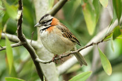 Rufous-collared Sparrow, Zonotrichia capensis. A small crested songbird with rufus collar and gray head with black strip perching on branch in Quito Botanical Stock Photo