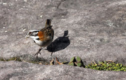 The Rufous-collared Sparrow (Zonotrichia capensis) Royalty Free Stock Photos