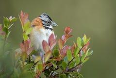 Rufous-collared Sparrow - Zonotrichia capensis stock photos