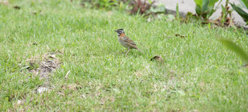 Rufous-collared Sparrow (Zonotrichia capensis) Stock Photo