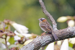 Rufous-collared sparrow or Zonotrichia capensis Royalty Free Stock Photos