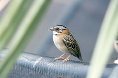 Rufous-collared sparrow or Zonotrichia capensis Royalty Free Stock Image