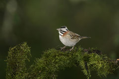 Rufous-collared sparrow, Zonotrichia capensis Royalty Free Stock Photo
