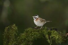 Rufous-collared sparrow, Zonotrichia capensis Royalty Free Stock Photo