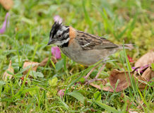 Rufous-collared Sparrow, Zonotrichia capensis. A small crested songbird with rufus collar and gray head with black stripe foraging on grass  ,Ecuador Royalty Free Stock Image