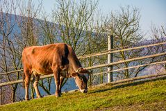 Rufous cow grazing near the fence on hillside. Lovely rural scenery stock images