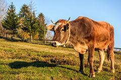 Rufous cow on hillside meadow near the forest. Carpathian rural area. Rufous cow on the meadow near the spruce forest on autumn morning stock images