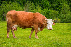 Rufous cow on a meadow near the forest. Rufous cow grazing on a grassy meadow near the forest. Carpathian rural area stock images