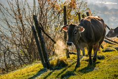 Rufous cow near the fence on hillside. On foggy morning. beautiful countryside scenery stock image