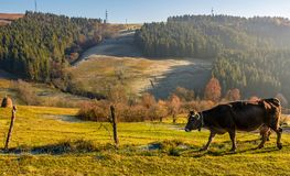 Rufous cow near the fence on hillside. On foggy morning. beautiful countryside scenery near the spruce forest royalty free stock images