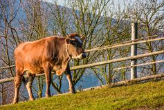 Rufous cow near the fence on hillside. Lovely rural scenery Royalty Free Stock Photo
