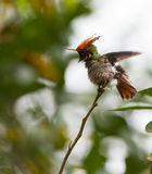 The Rufous-crested Coquette. (Lophornis delattrei) is without doubt one of the most appealing hummingbird-species of the peruvian rainforest Royalty Free Stock Photo