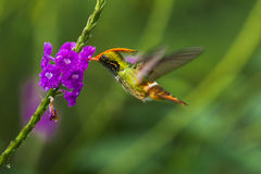Rufous Crested Coquette Stock Image