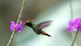Rufous-crested Coquette Lophornis delattrei Royalty Free Stock Photo