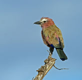 Rufous crowned (aka purple) roller Royalty Free Stock Photography