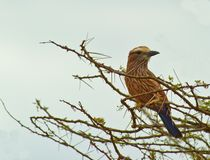 The Rufous-crowned Roller Royalty Free Stock Image