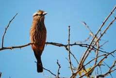 Rufous-crowned Roller (Coracias naevius) Stock Image
