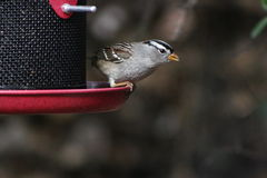 Rufous crowned sparrow. A Rufous-crowned sparrow at a feeder Royalty Free Stock Photography