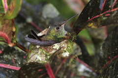 Rufous-de steel verwijderde van Kolibrie Amazilia tzacatl Stock Foto's