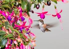 ` Rufous di rufus di Selasphorus del ` del colibrì Immagine Stock Libera da Diritti