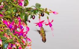 ` Rufous di rufus di Selasphorus del ` del colibrì Immagini Stock