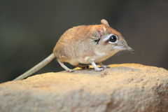 Rufous elephant shrew. The rufous elephant shrew on the rock Royalty Free Stock Images