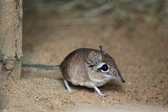 Rufous elephant shrew. The rufous elephant shrew in the soil Stock Photo