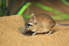Rufous elephant shrew Royalty Free Stock Photography