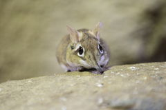 Rufous elephant shrew. Lying on the rock Stock Photography