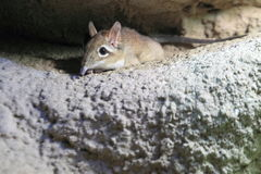 Rufous elephant shrew Stock Photography