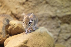 Rufous elephant shrew. Standing on the rock Royalty Free Stock Photography