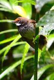 Rufous fantail Stock Photo