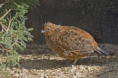Rufous form of the Northern Bobwhite, Colinus virginianus Stock Photos