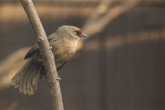 Rufous-fronted laughingthrush Stock Photos