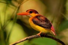 Rufous Gesteunde Ijsvogel. Royalty-vrije Stock Foto