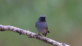 Rufous-gorgeted Flycatcher Ficedula strophiata Male Cute Birds of Thailand stock video