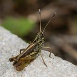 Rufous grasshopper (Gomphocerippus rufus) Stock Images