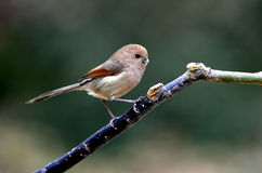 Rufous-headed Crowtit Royalty Free Stock Image