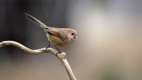 Rufous-headed Crowtit Stock Photo