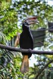 Rufous hornbill Arkivfoto