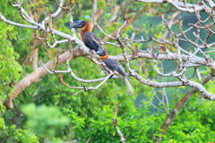 Rufous Hornbill. (Buceros hydrocorax) in Luzon, Philippines Stock Photos