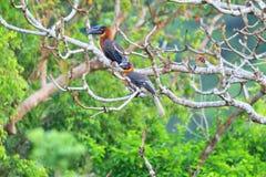 Rufous Hornbill Stock Photos