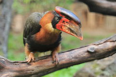 Rufous hornbill. The rufous hornbill sitting on the branch Royalty Free Stock Images