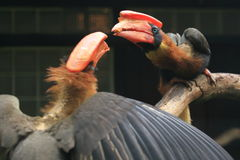 Rufous hornbills. The couple of rufous hornbills Stock Images