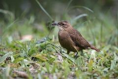 Rufous hornero, Furnarius rufus. Single bird on branch, Brazil stock photography