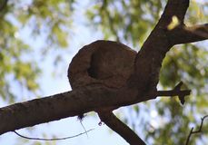 Rufous hornero nest made of clay in a tree in Argentina. During summer, builder bird Royalty Free Stock Photography
