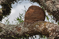 Rufous Hornero Nest Stock Photography